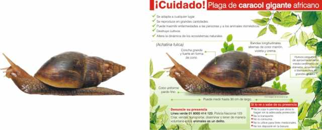 info Caracol africano